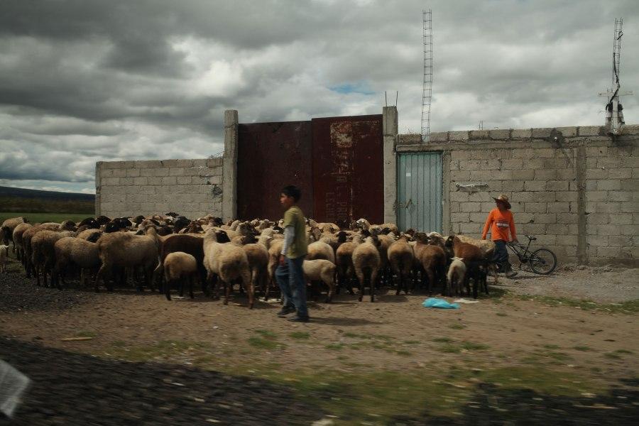 Boys herding sheep on the edge of town. Photo: Alex Washburn