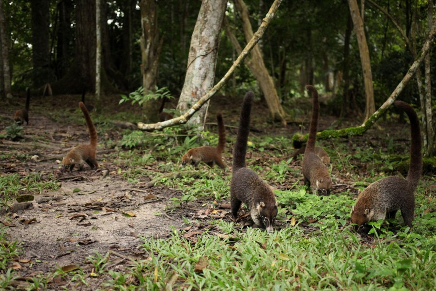 Seeing this family of Coatis was one of the best parts about staying in Tikal. This relative of the raccoon spends its day rooting around the forest floor like little pigs in groups of 10-50. I walked up to within about 15 feet of them and the older ones were totally unafraid. On their search for food the noodled within two or three feet of me. Photo: Alex Washburn