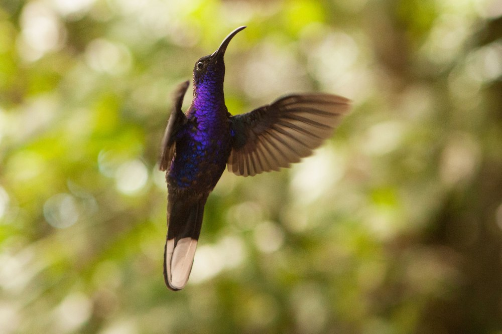 A violet Sabrewing Hummingbird hovers near a feeder at Monteverde Cloud Forest. Photo: Alex Washburn