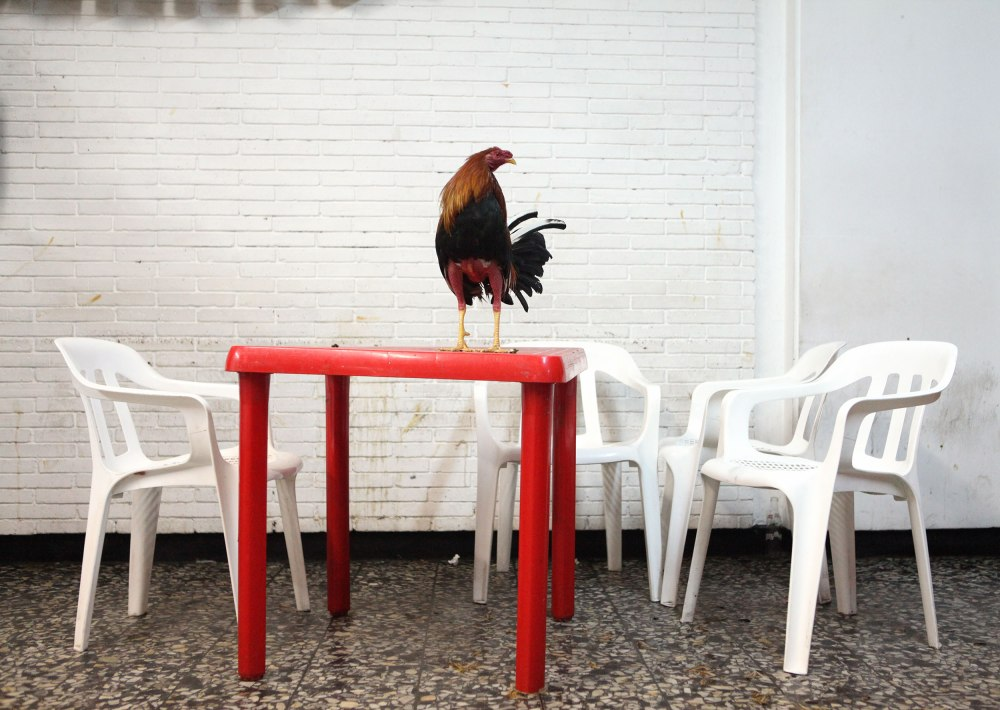 Alex being a photojournalist wanted to go to Club Gallistico and take photos. Club Gallistico is one of the oldest cockfighting establishments in the city and she'll be doing a full post for that on her personal photoblog. Here a rooster waits to have fighting spurs attached to his feet. Photo: Alex Washburn