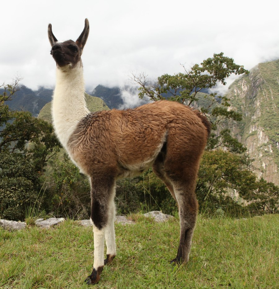 One of the best parts of visiting Machu Pichu was getting to pet this baby llama. Photo: Alex Washburn