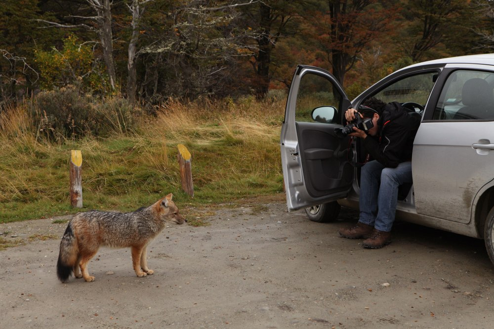 A fox approaches a car to beg for food. Photo: Alex Washburn
