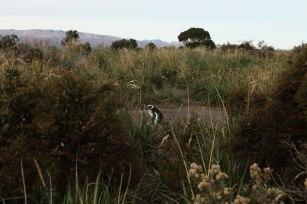 A magellanic penguin hangs out near its nest. Photo: Alex Washburn