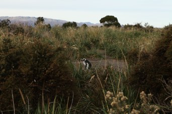 A magellanic penguin hangs out near its nest. Photo: Alex Washburn